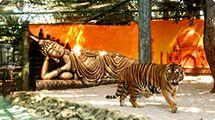 Zoológico promove concurso para a escolha do nome de tigre